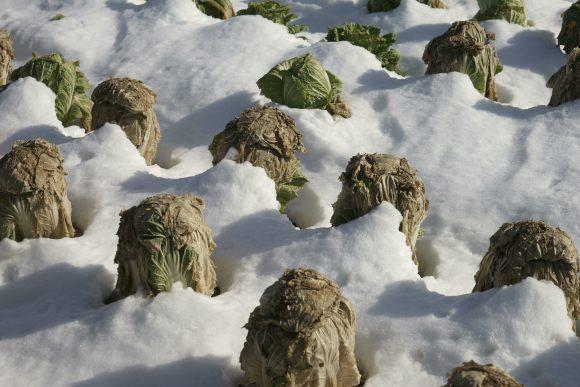 S03_DSC0551白菜畑に雪.JPG