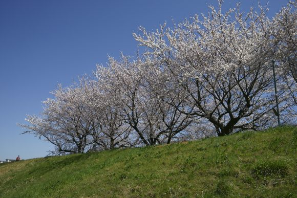 S04_DSC1902柳瀬川の桜.JPG