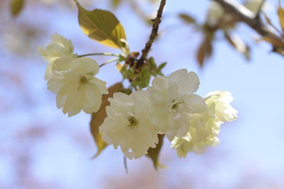 S05_DSC1553鬱金桜.JPG