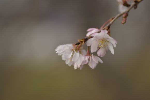 S05_DSC6472冬桜.JPG