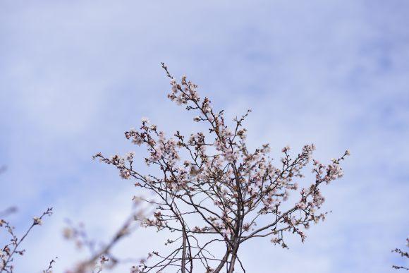 S06_DSC6474冬桜.JPG