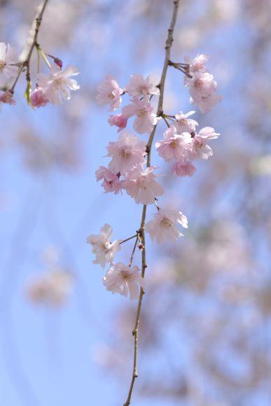 S08_DSC1542枝垂桜.JPG