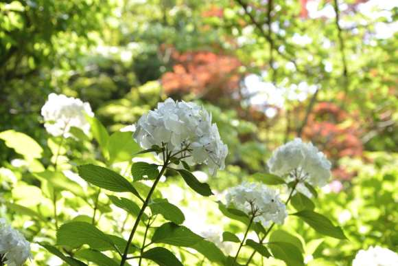 S_04M_12_DSC7908紫陽花と花菖蒲.JPG