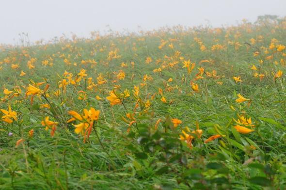 S_7DSC_5597霧のニッコウキスゲ.JPG