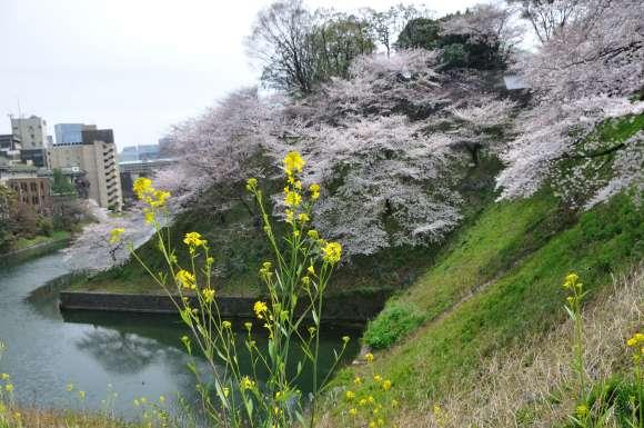 S__01DSC_5229九段下ナノハナと桜.JPG