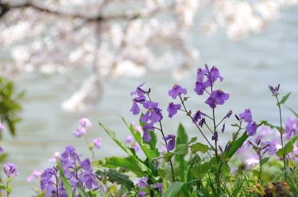 S__05DSC_5269花大根と桜.JPG