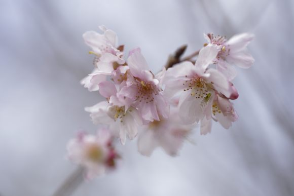 S03_DSC6462冬桜.JPG